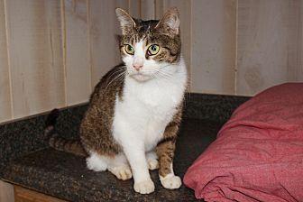 Domestic Shorthair Cat for adoption in Jackson, Mississippi - Caroline