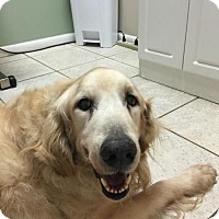 Golden Retriever Dog for adoption in Jacksonville, Florida - Winston - Sponsor