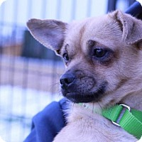 Adopt A Pet :: DAPHNE - Boston, MA