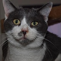 Domestic Shorthair Cat for adoption in Port Clinton, Ohio - Drew Carey