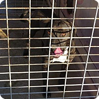 Labrador Retriever/American Pit Bull Terrier Mix Dog for adoption in Portland, Indiana - Abby