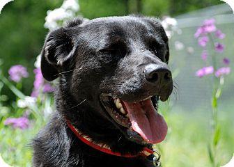 Labrador Retriever/Golden Retriever Mix Dog for adoption in Salem, West Virginia - Annie