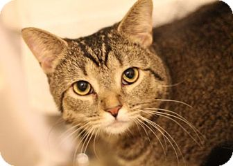 Abyssinian Kitten for adoption in Murfreesboro, North Carolina - Madison