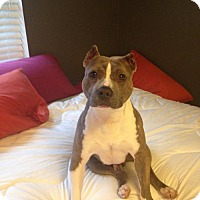 American Pit Bull Terrier Dog for adoption in Fulton, Missouri - Buddy - Tennessee
