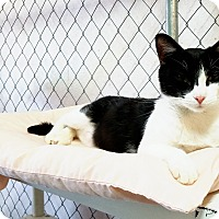 Domestic Shorthair Cat for adoption in Fallbrook, California - Be Be