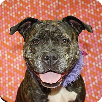 Pit Bull Terrier Mix Dog for adoption in Jackson, Michigan - Brandi