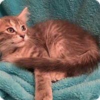 Domestic Mediumhair Kitten for adoption in Grove City, Ohio - Lotus