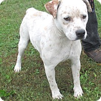Bulldog/Blue Heeler Mix Dog for adoption in Reeds Spring, Missouri - Pride