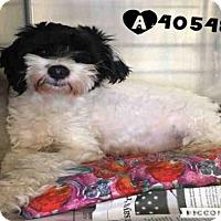 Adopt A Pet :: A405482 - San Antonio, TX