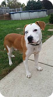 American Bulldog/Labrador Retriever Mix Dog for adoption in joliet, Illinois - Cooper