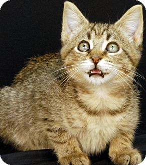 Domestic Shorthair Kitten for adoption in Newland, North Carolina - Bixby