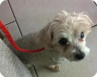 Maltese Dog for adoption in North Las Vegas, Nevada - Abby