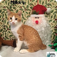 Adopt A Pet :: Mikey - Likes belly rubs! - Huntsville, ON