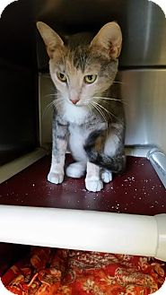 Domestic Shorthair Cat for adoption in Chippewa Falls, Wisconsin - Dayna