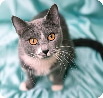 Russian Blue Cat for adoption in Chattanooga, Tennessee - Tatiana