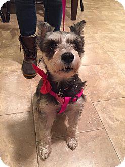 Schnauzer (Miniature) Mix Dog for adoption in Bristol, Connecticut - Nena