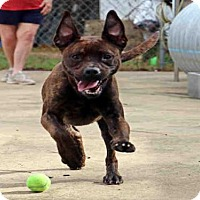 Pit Bull Terrier Mix Dog for adoption in Fort Walton Beach, Florida - DRO