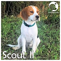 Adopt A Pet :: Scout II - Chicago, IL