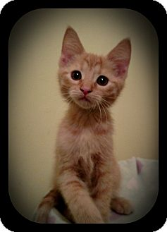 Domestic Shorthair Kitten for adoption in Richmond, Virginia - OB