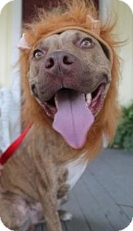 Pit Bull Terrier/Catahoula Leopard Dog Mix Dog for adoption in New Smyrna Beach, Florida - Murphy Roo***Tripod***