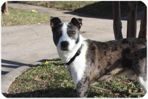 Catahoula Leopard Dog Mix Dog for adoption in Justin, Texas - Domino