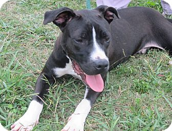 american bulldog and lab mix axel adopted dog courtesy posting contact 3964