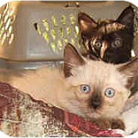 Adopt A Pet :: Chocola - Dallas, TX