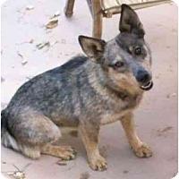 Adopt A Pet :: Wiley - Phoenix, AZ