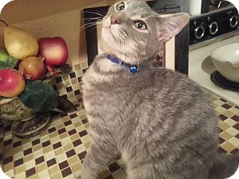 Domestic Shorthair Kitten for adoption in Harrisburg, North Carolina - Loki