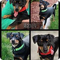 Adopt A Pet :: Marvin - West Richland, WA