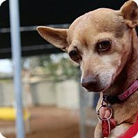 Adopt A Pet :: CHIWEENIE - Phoenix, AZ