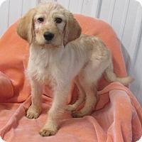 Adopt A Pet :: KRYSTALYNN ~ 'DOODLE' - WOODSFIELD, OH