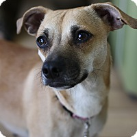 Adopt A Pet :: Honey - Marina del Rey, CA