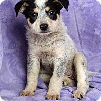 Adopt A Pet :: Penelope HeelerMix - St. Louis, MO