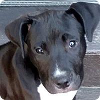 Adopt A Pet :: Stitch - Cincinnati, OH