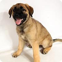 Adopt A Pet :: Asteria GS - St. Louis, MO
