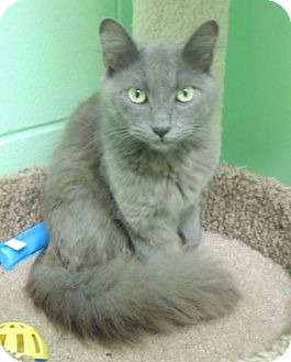 Domestic Mediumhair Cat for adoption in Athens, Alabama - Gopher