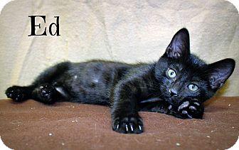 Domestic Shorthair Kitten for adoption in Melbourne, Kentucky - Ed