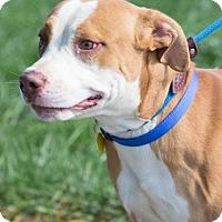 Terrier (Unknown Type, Medium)/American Pit Bull Terrier Mix Dog for adoption in Fulton, Missouri - Kyran- Ohio