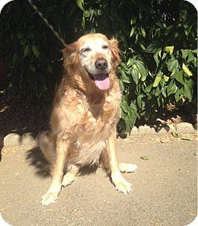 Golden Retriever Dog for adoption in Temecula, California - Carla