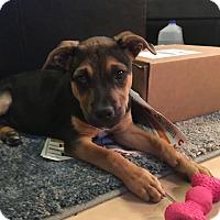 Adopt A Pet :: PENNY - 9 WEEK SHEPHERD MIX FE - Mesa, AZ