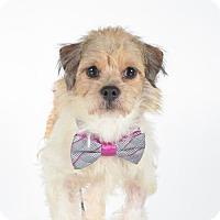 Adopt A Pet :: Lindy- Pending Adoption 10/23 - St. Louis Park, MN