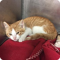Domestic Shorthair Kitten for adoption in New Braunfels, Texas - FireBall