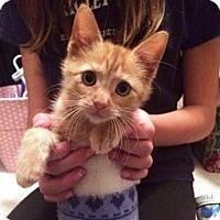 Domestic Shorthair Kitten for adoption in Chicago, Illinois - Auggie