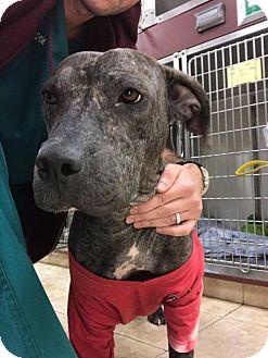 Labrador Retriever/Pit Bull Terrier Mix Dog for adoption in New York, New York - Kari