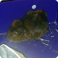 Adopt A Pet :: Littlefinger - Williston, FL