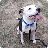 Adopt A Pet :: Ratchet - Scituate, MA