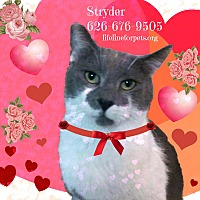 Domestic Shorthair Cat for adoption in Monrovia, California - Easy STRYDER!