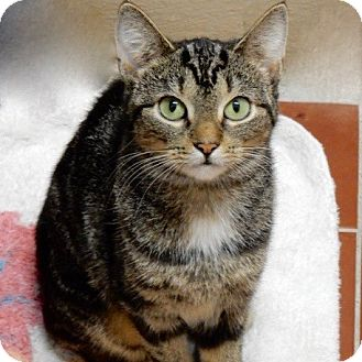 Domestic Shorthair Cat for adoption in Long Beach, New York - Angie