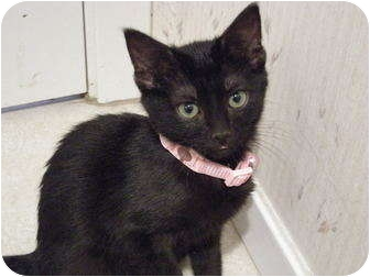 American Shorthair Kitten for adoption in Hurst, Texas - Lucy-fuzzy bundle of fun!